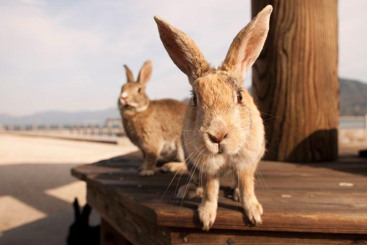 The residents of Japan's Bunny Island, near Hiroshima.