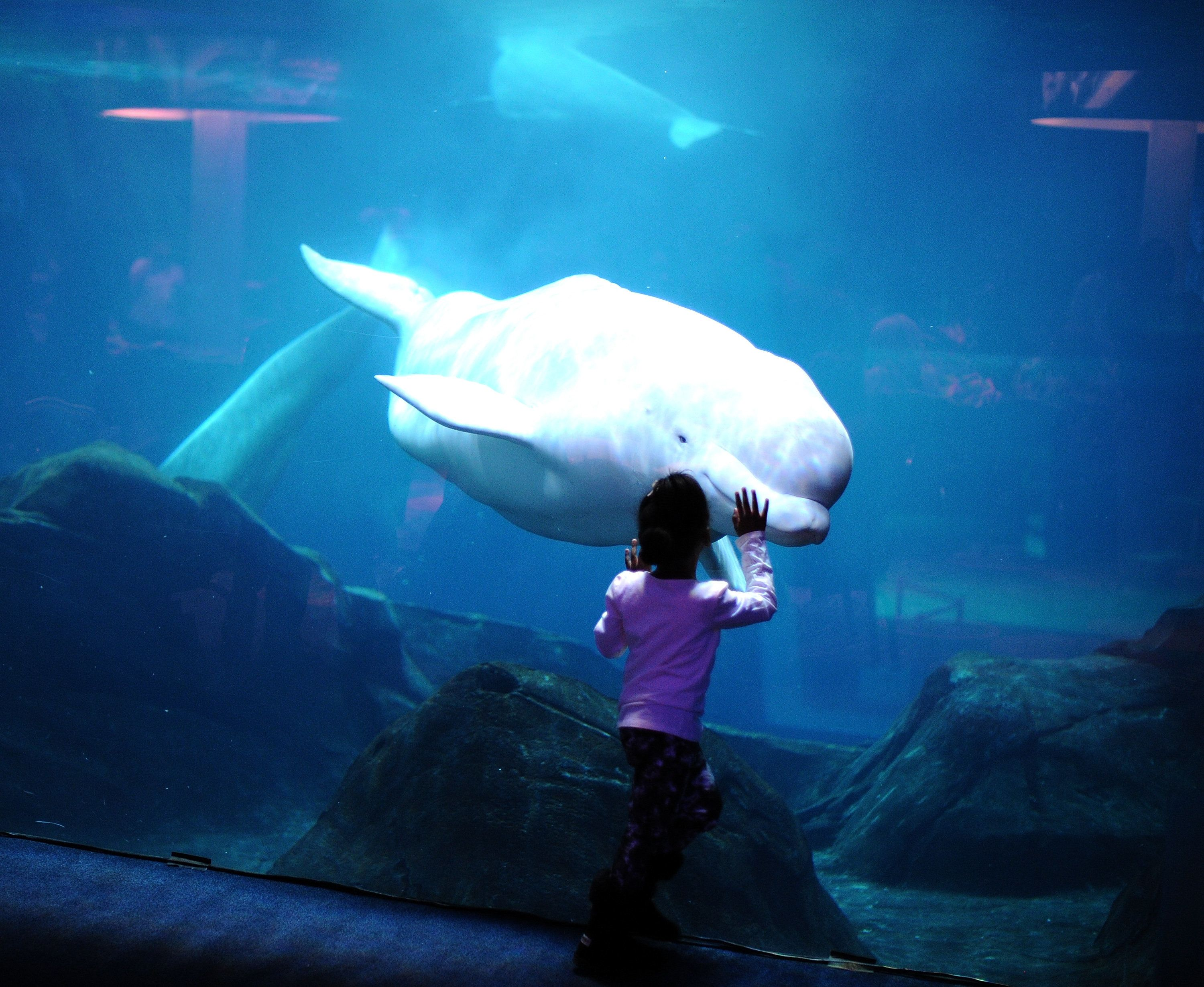 u s to ban captivity of some beluga whales huffpost