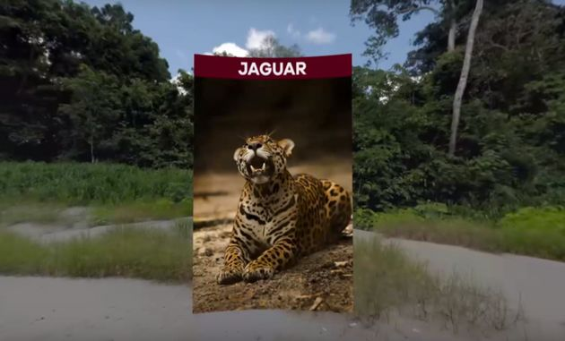 Researchers are using virtual reality to help jaguar populations in