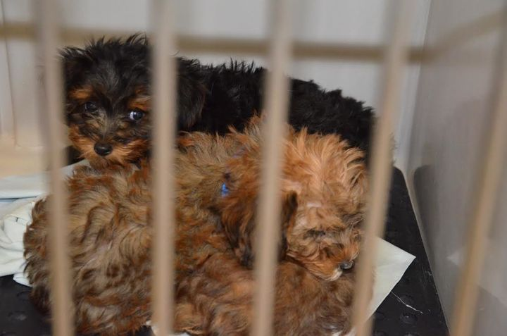 Two puppies that Paramus police say they took from a pet store's van.
