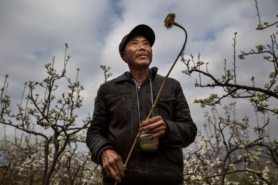 Chinese farmer He Guolin, 53, holds a stick with chicken feathers used to hand pollinate flowers on a pear tree.