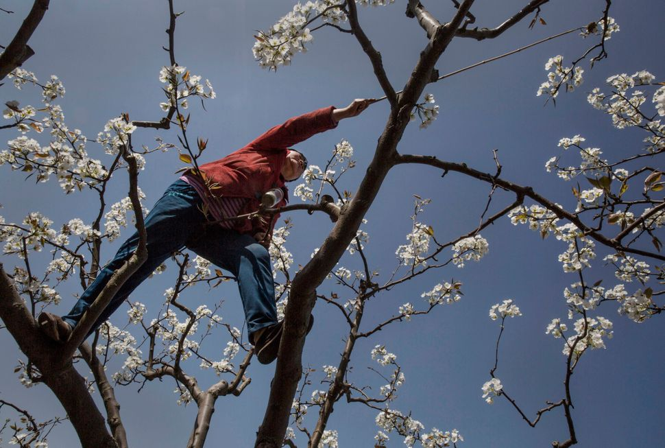 "Hanyuan county describes itself as the ""world's pear capital,"" but the long-term viability of hand pollination is being"