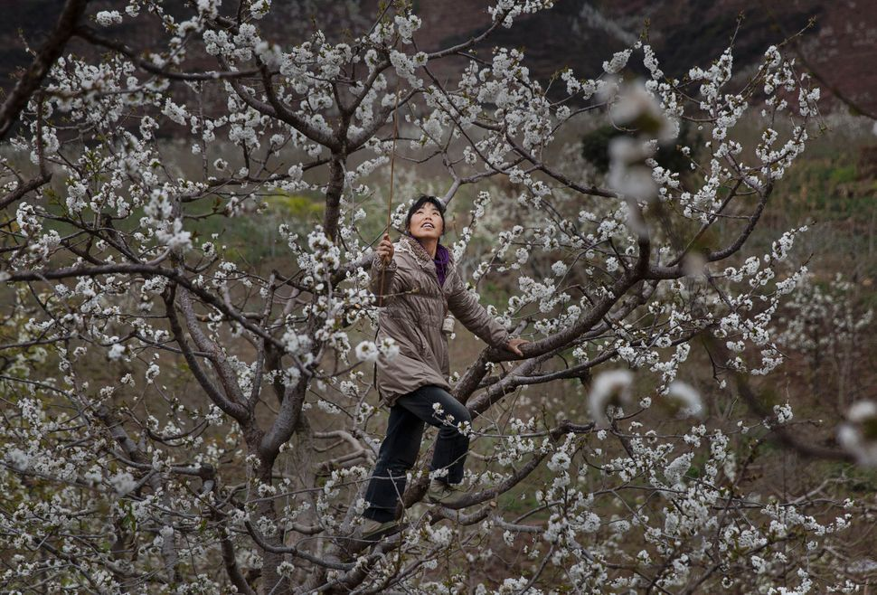 A Chinese farmer climbs a pear tree as she pollinates the flowers by hand.