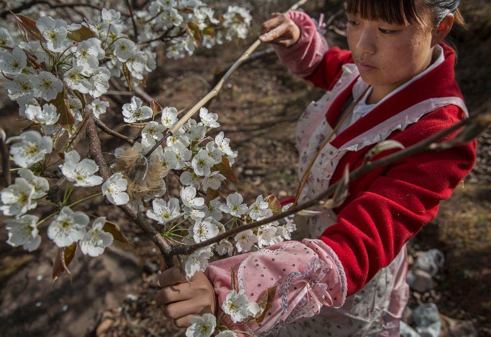 Chinese farmer He Meixia, 26, pollinates a pear tree.
