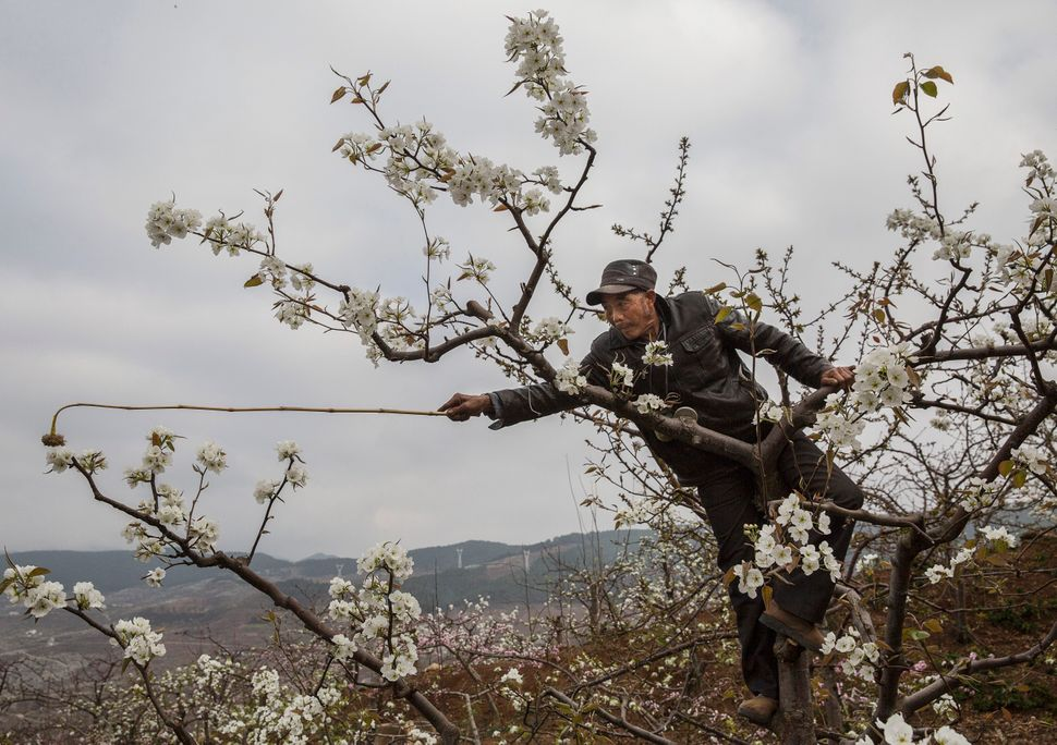 A worker stretches to pollinate a distant pear blossom.