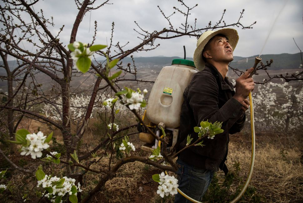 Heavy pesticide use on fruit trees in the area caused a severe decline in wild bee populations, and trees are now pollinated