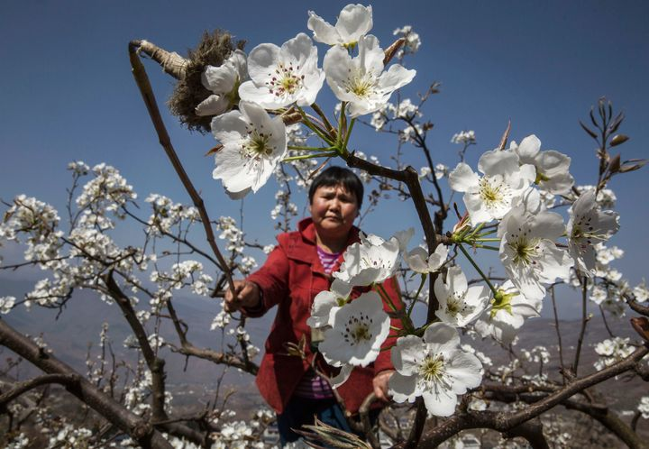 A Chinese farmer pollinates a pear tree by hand in Hanyuan County, Sichuan province, China.