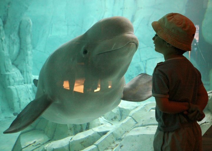 Yulka, a beluga whale, and a boy look at each other at the Oceanografic in Valencia, Spain,on Aug.11, 2006.