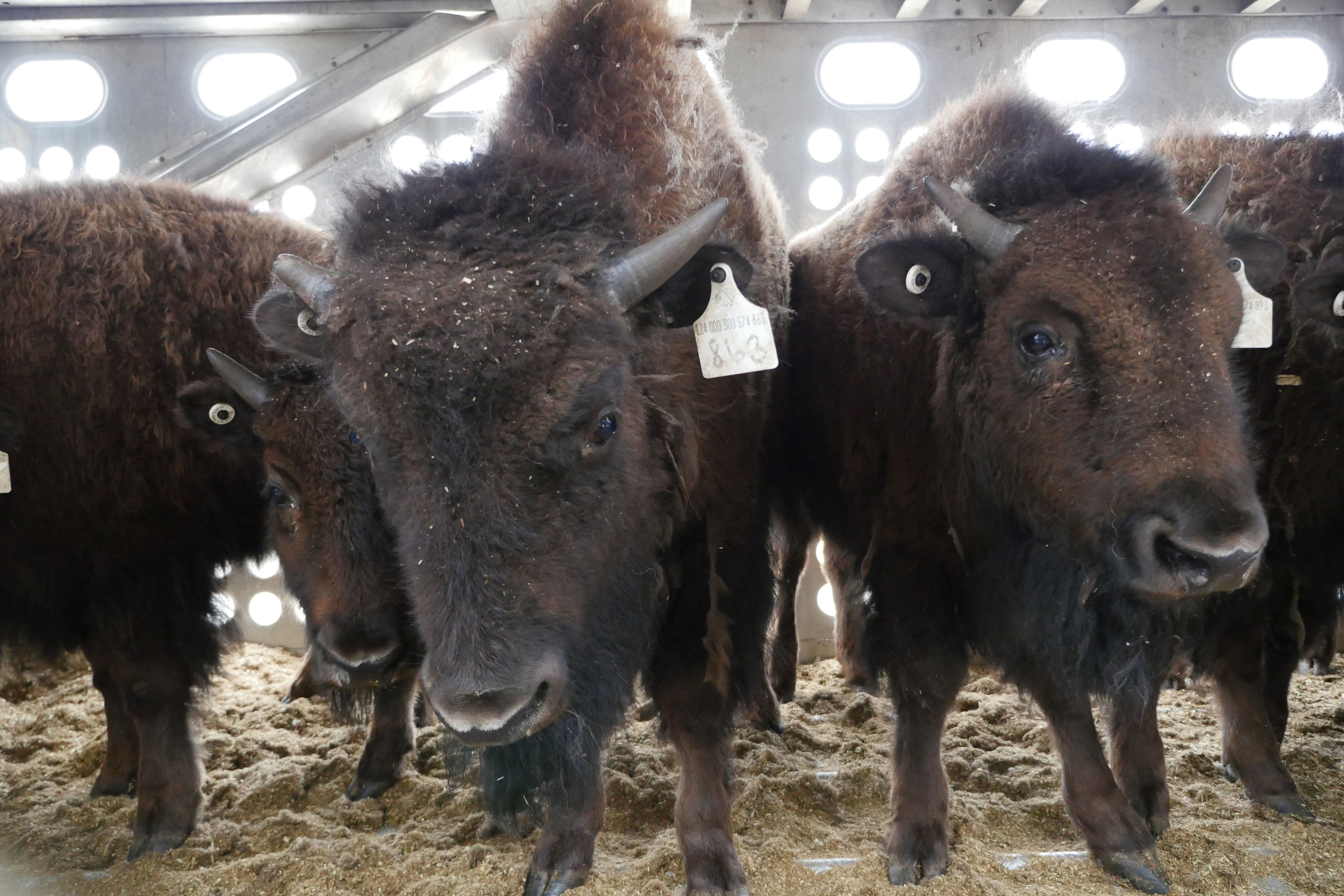 A herd of 88 bison are being returned to the Blackfeet Indian Reservation in Montana.