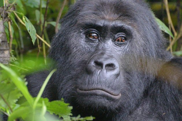 The Grauer's gorilla, also known as the eastern lowlands gorilla, lives solely in eastern DRC and...