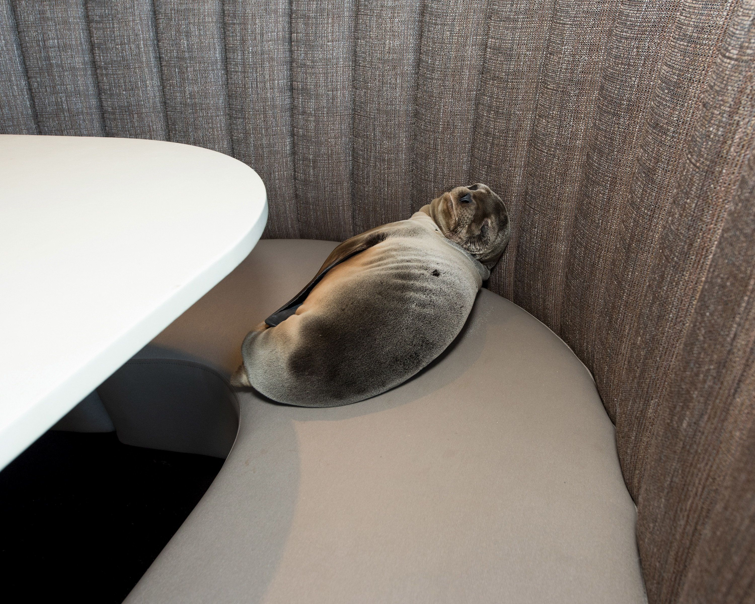 An eight-month-old female California sea lion pup is seen after being found sleeping in a booth in the dining room of the iconic Marine Room restaurant in La Jolla, California in this handout photo taken February 4, 2016. A rescue team from the SeaWorld San Diego theme park was called in to pull the barking mammal from the booth and place it in a net. The mammal was then taken to SeaWorld for care, said David Koontz, a spokesman for the tourist center.   REUTERS/Mike Aguilera/SeaWorld�San Diego/Handout via Reuters  ATTENTION EDITORS - THIS PICTURE WAS PROVIDED BY A THIRD PARTY. REUTERS IS UNABLE TO INDEPENDENTLY VERIFY THE AUTHENTICITY, CONTENT, LOCATION OR DATE OF THIS IMAGE. THIS PICTURE IS DISTRIBUTED EXACTLY AS RECEIVED BY REUTERS, AS A SERVICE TO CLIENTS.  EDITORIAL USE ONLY. NO RESALES. NO ARCHIVE.      TPX IMAGES OF THE DAY