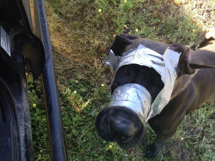 The dog that was found bound with duct tape around her head and mouth.