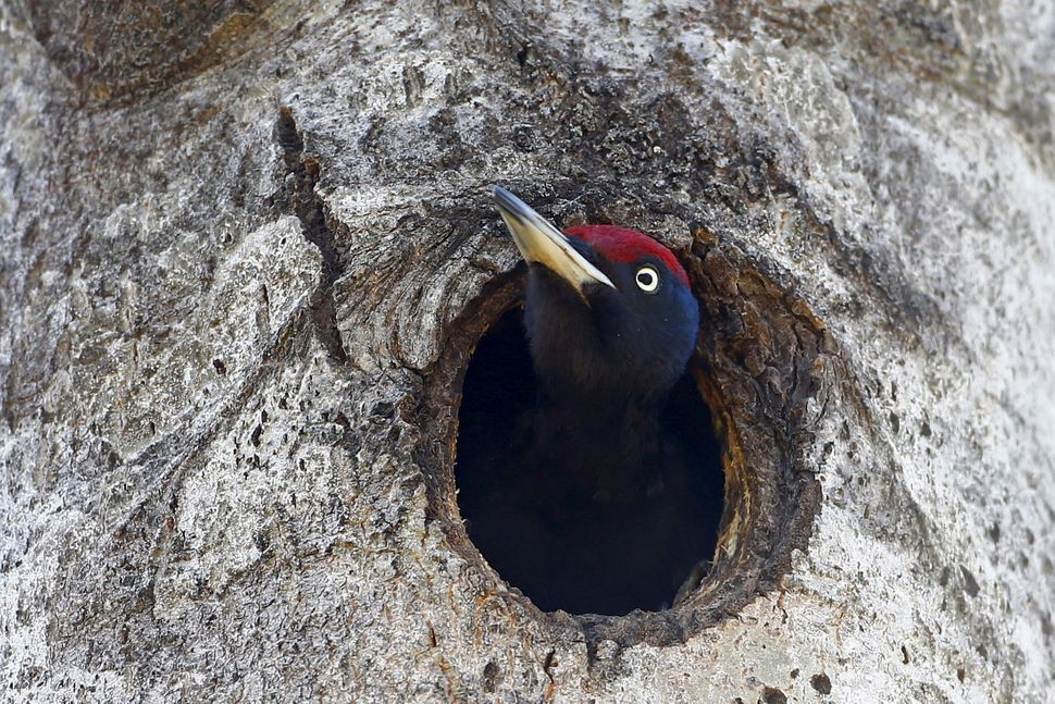 A woodpecker looks out of a hollow in a tree.