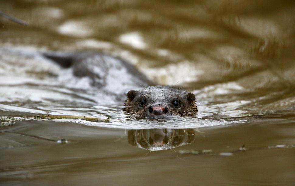 An otter swims in a river in the exclusion zone around the nuclear reactor in the abandoned village of Pogonnoe, Belarus, on