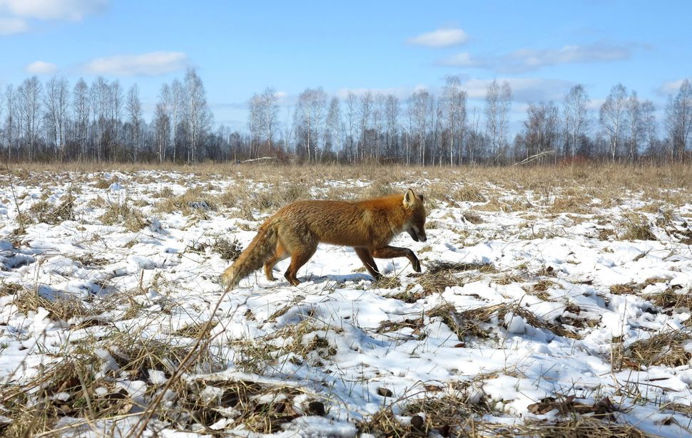 A fox walks through the exclusion zone.