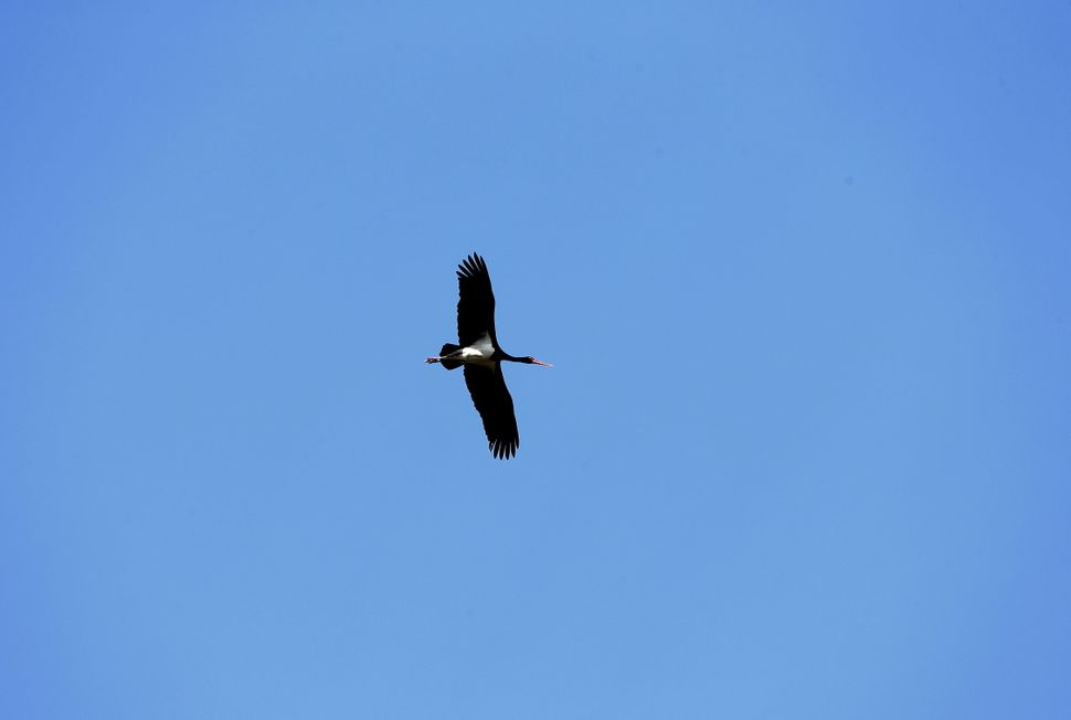 A black stork flies through the exclusion zone around the nuclear reactor near Dronki, Belarus, on April 2, 2016.