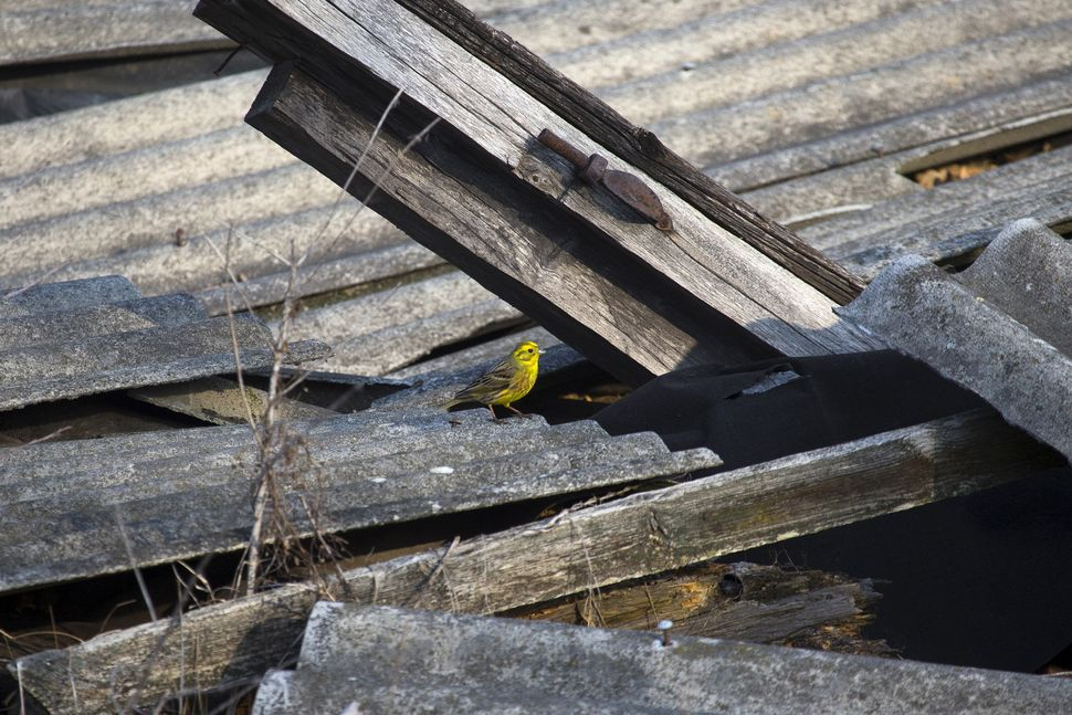 A yellowhammer is seen on the remains of a house in Orevichi, Belarus, on March 12, 2016.