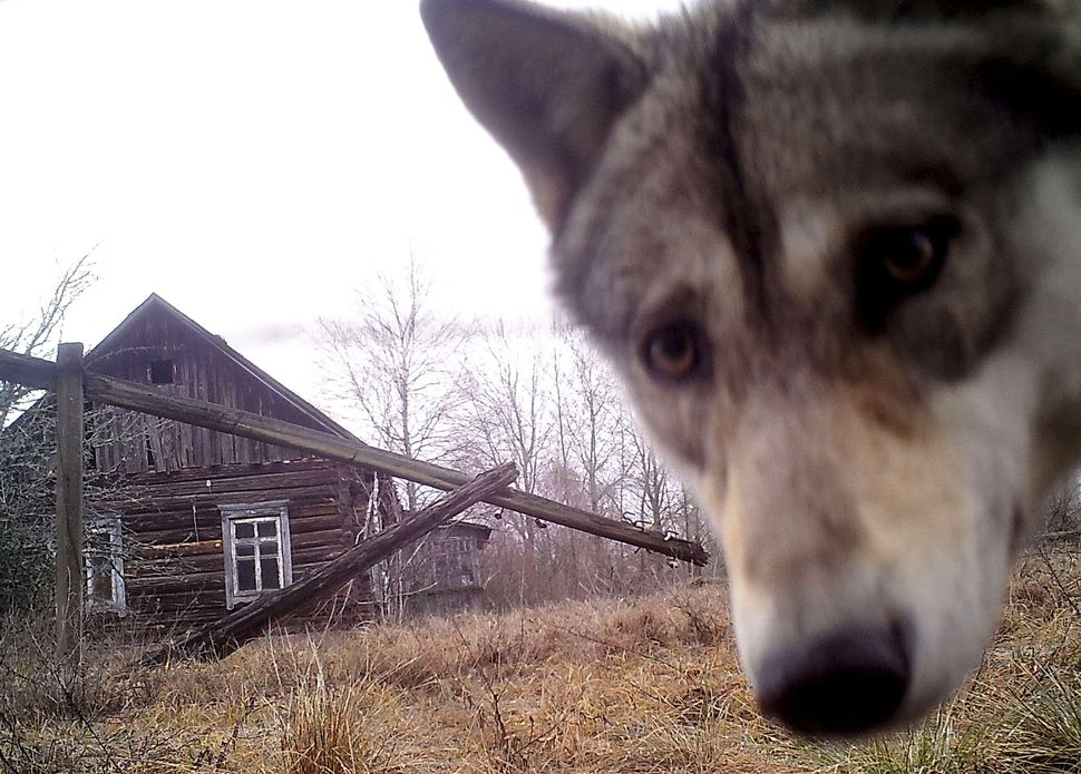 A wolf looks into the camera in the abandoned village of Orevichi, Belarus, on March 2, 2016.