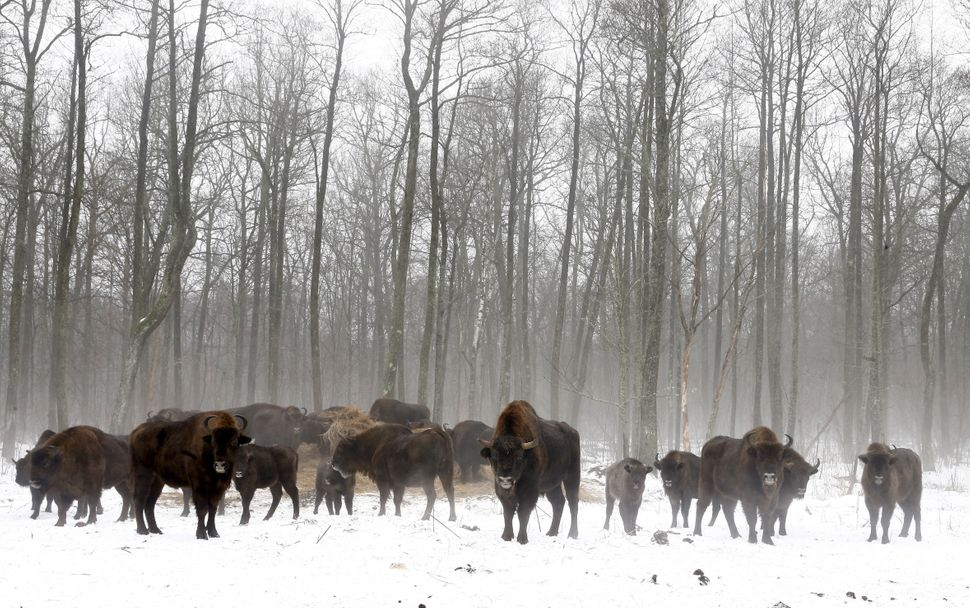 Bison are seen at a bison nursery in exclusion zone around the Chernobyl nuclear reactor near Dronki, Belarus, on Jan. 28, 20
