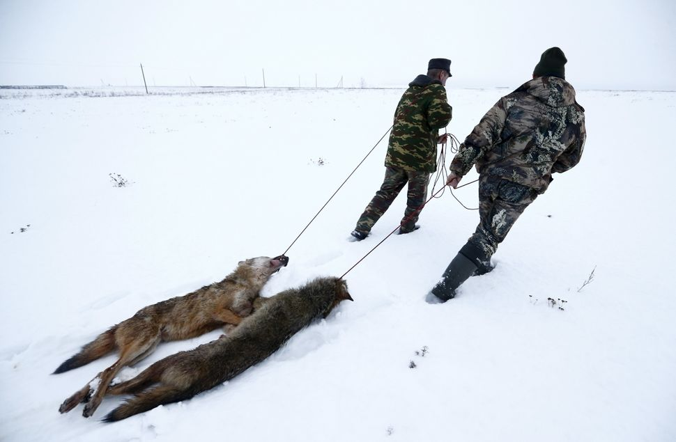 Hunters drag wolves killed in a field near the village of Khrapkov, Belarus, on Jan. 27, 2016.