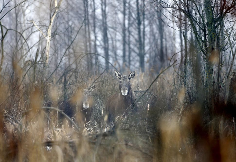 Elk stand in the exclusion zone around the nuclear reactor near Dronki, Belarus, on Jan. 28, 2016.