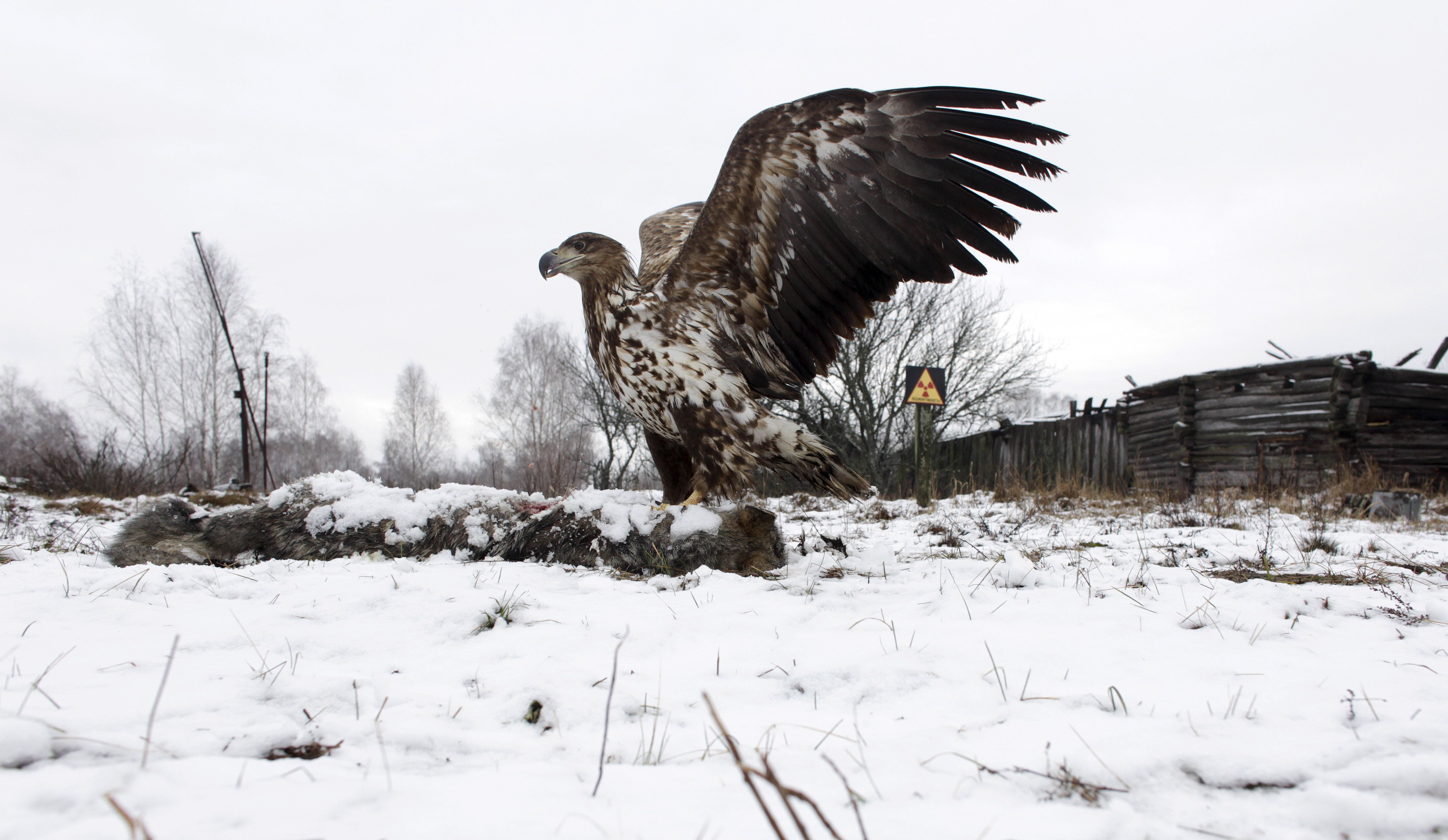 A white-tailed eagle lands on a wolf's carcass in the 30 km (19 miles) exclusion zone around the Chernobyl nuclear reactor, i