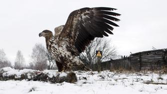 "A white-tailed eagle lands on a wolf's carcass in the 30 km (19 miles) exclusion zone around the Chernobyl nuclear reactor, in the abandoned village of Dronki, Belarus, February 15, 2016. What happens to the environment when humans disappear? Thirty years after the Chernobyl nuclear disaster, booming populations of wolf, elk and other wildlife in the vast contaminated zone in Belarus and Ukraine provide a clue. On April 26, 1986, a botched test at the nuclear plant in Ukraine, then a Soviet republic, sent clouds of smouldering radioactive material across large swathes of Europe. Over 100,000 people had to abandon the area permanently, leaving native animals the sole occupants of a cross-border ""exclusion zone"" roughly the size of Luxembourg. REUTERS/Vasily Fedosenko    SEARCH ""WILD CHERNOBYL"" FOR THIS STORY. SEARCH ""THE WIDER IMAGE"" FOR ALL STORIES    TPX IMAGES OF THE DAY"
