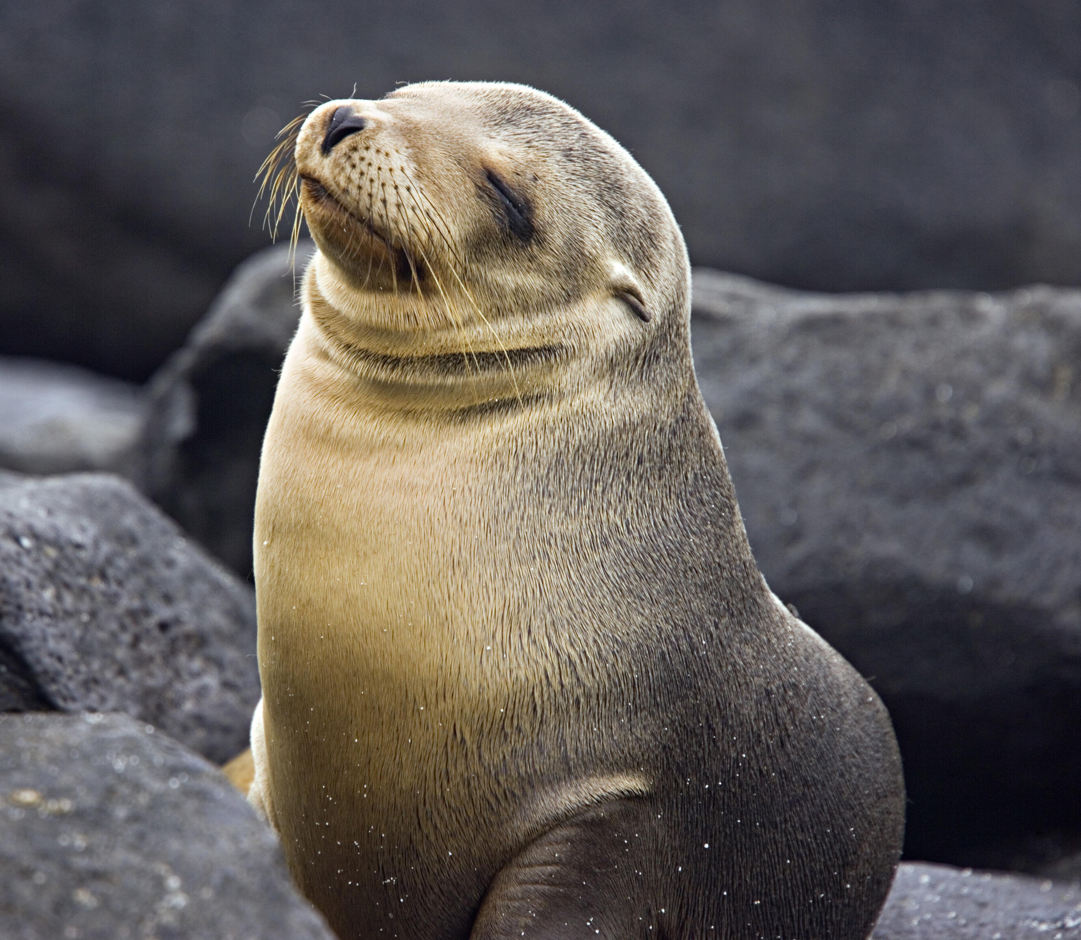 Young Galapagos Sea Lion, Zalophus californianus wollebaeki. Galapagos