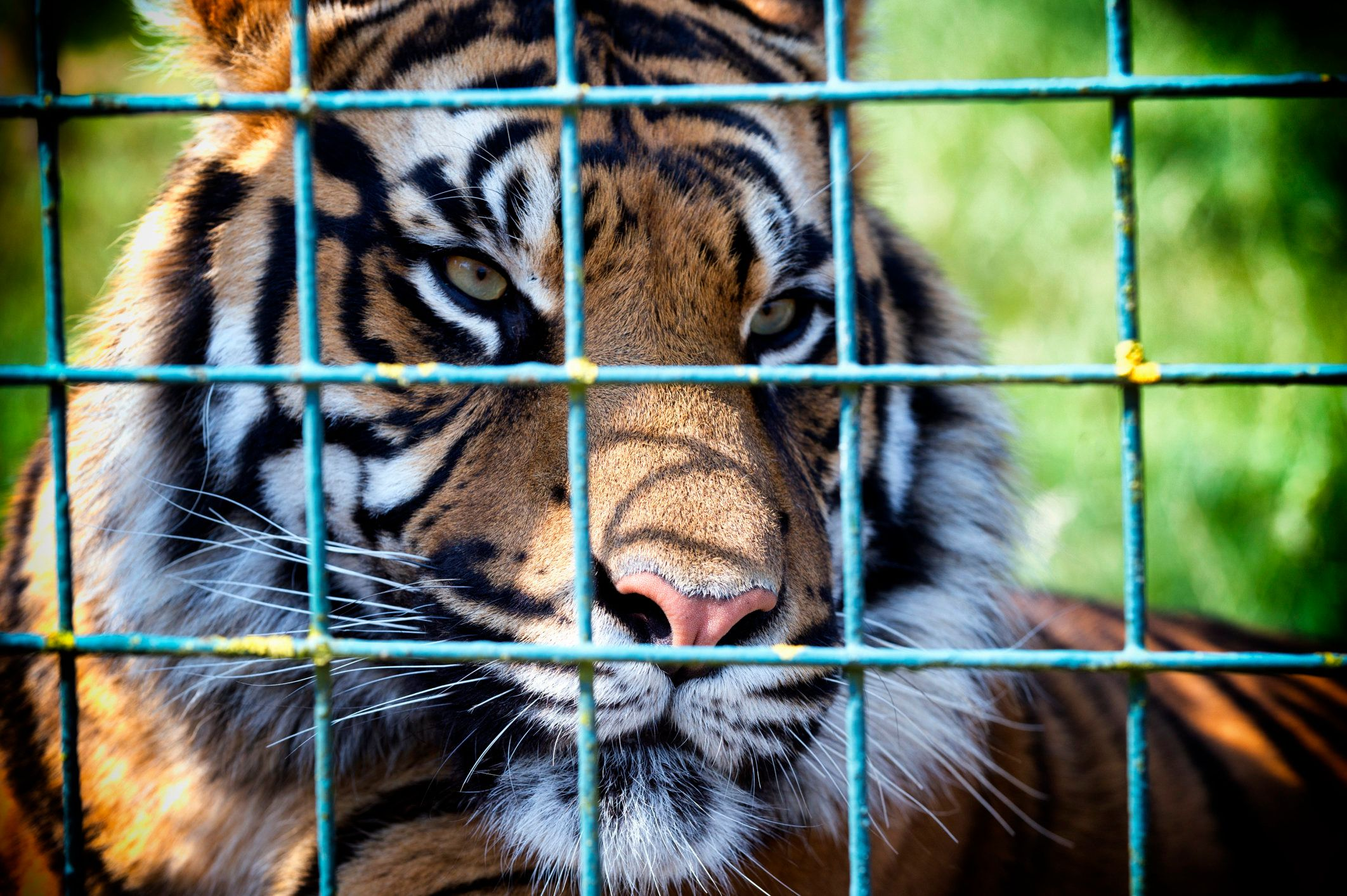 Two federal agencies promised this week to increase federal oversight of America's captive tiger population, estimated to num