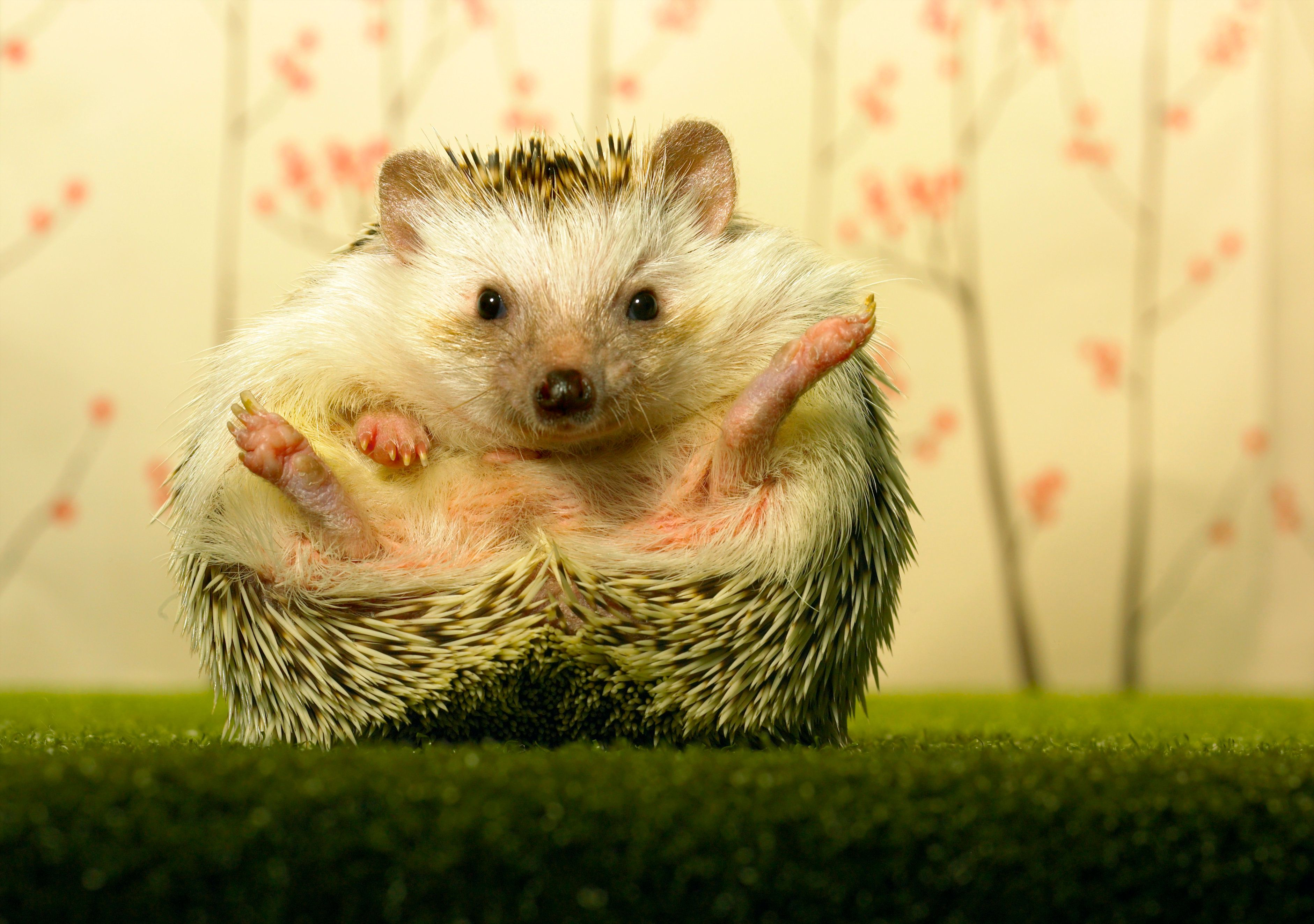 You Can Now Visit A Hedgehog Cafe In Tokyo