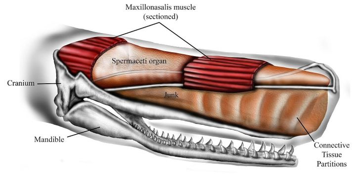 The forehead of a sperm whale contains two large oil-filled compartments that may play a role in these ocean creatures'&