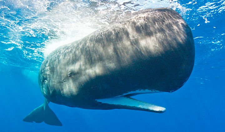 A new study suggests that the structure of a sperm whale's forehead evolved to function as a massive battering ram for w