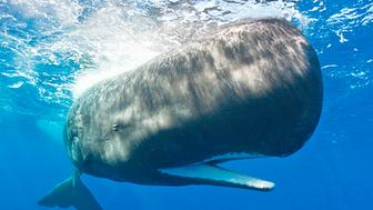 Sperm whale, Caribbean Sea, Dominica