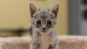 One of four kittens that was found inside of a tied trash bag is seen.