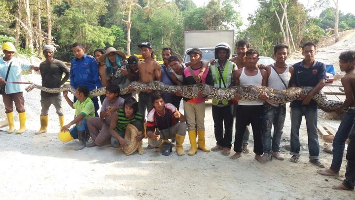 A python, estimated to bea little more than 24 feet long, is seen being held up near a construction site in Malaysia af