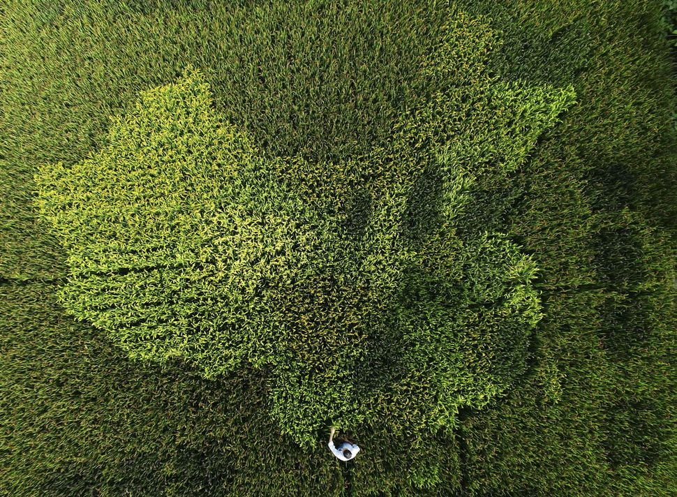 Rice plants areshaped in the map of China in a paddy field in Zhonghong village.