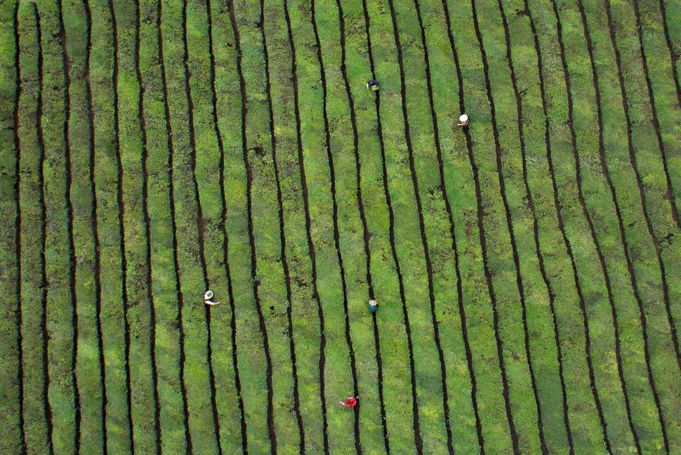 Workers pick tea leaves at a plantation in Dongyang, Zhejiang province.