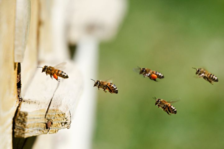 Honey bees, seen here, pollinate 75 percent of the fruits, nuts and vegetables grown in the U.S.