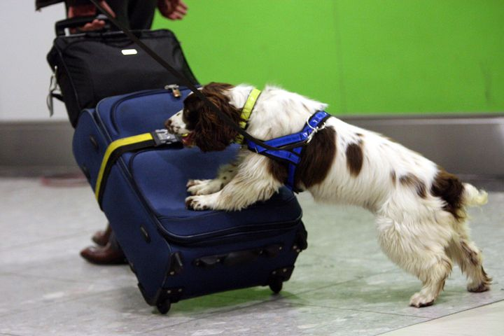 Roxy, a UK Border Agency dog at Heathrow Airport. The Heathrow Airport dogs are not the sausage-fixated pups described in this article. Those dogs are the team at Manchester Airport.