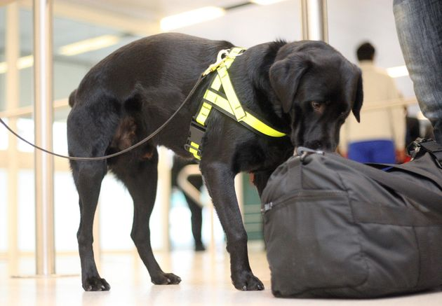 Sniffer dogs are trained to search for drugs and products of animal origin (like