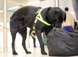 Airport Sniffer Dogs Are Detecting Sausages And Cheese Instead Of Class A Drugs