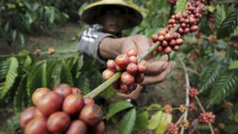 A farmer harvests robusta coffee at the Tutur Plantation in Pasuruan, East Java, Indonesia, August 6, 2015. in this photo taken by Antara Foto. Picture taken 6, 2015. REUTERS/Moch Asim /Antara Foto ATTENTION EDITORS - THIS IMAGE HAS BEEN SUPPLIED BY A THIRD PARTY. IT IS DISTRIBUTED, EXACTLY AS RECEIVED BY REUTERS, AS A SERVICE TO CLIENTS. FOR EDITORIAL USE ONLY. NOT FOR SALE FOR MARKETING OR ADVERTISING CAMPAIGNS MANDATORY CREDIT. INDONESIA OUT. NO COMMERCIAL OR EDITORIAL SALES IN INDONESIA.