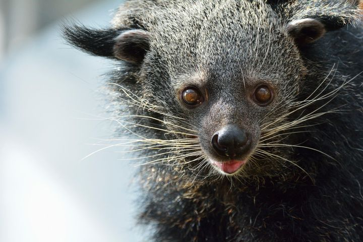 Bearcats, also known as binturong, mark their territory with this appetizing urine.