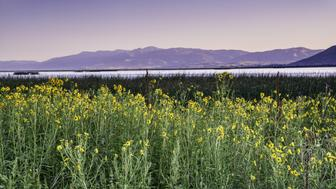 Sunflowers at Bear Lake at sunrise, Wasatch Range in distance, view from North Beach State Park, Bear Lake Valley, Oregon Trail Bear Lake Scenic Byway, Idaho, USA.