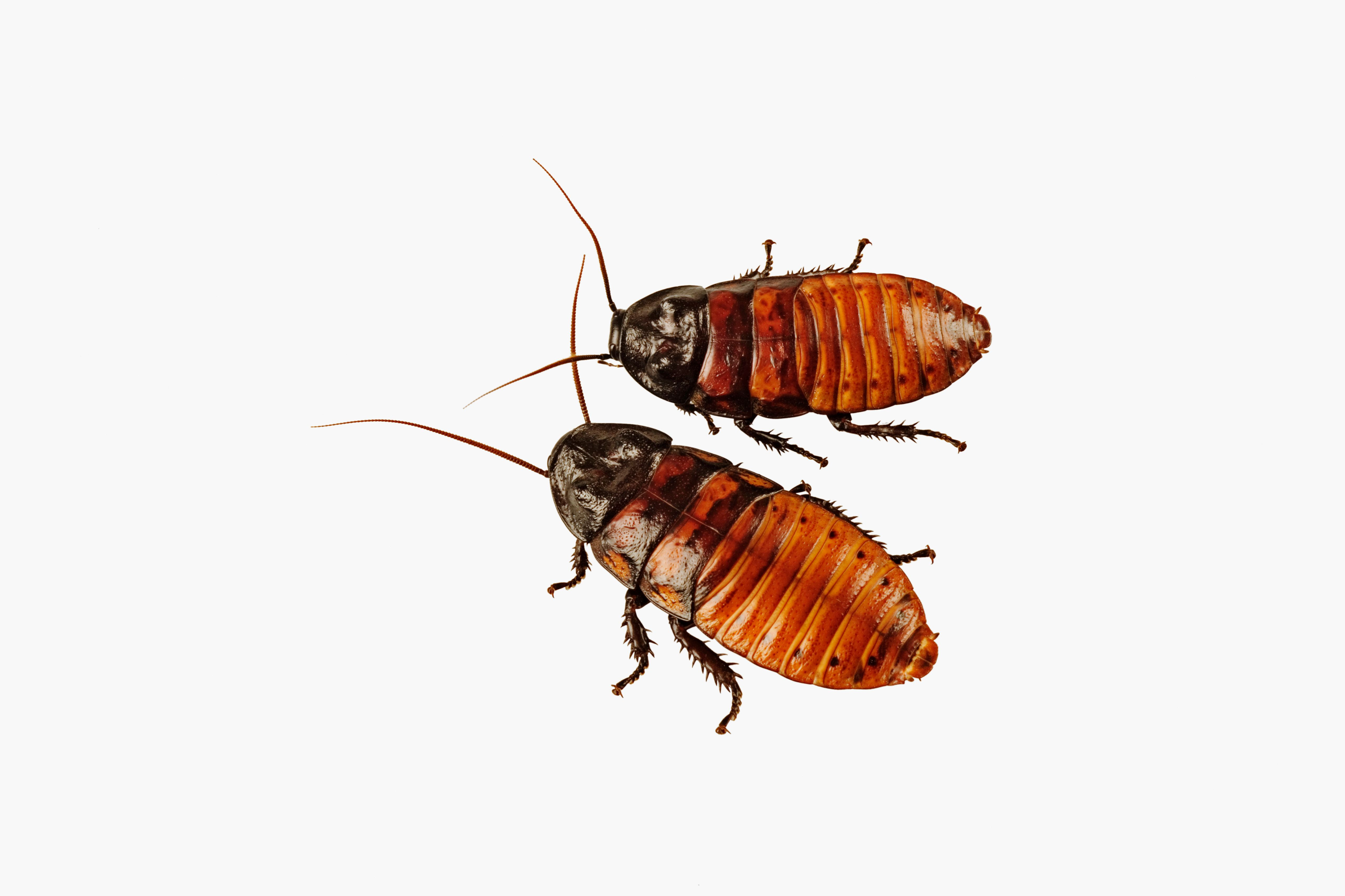 Studio Shot of Two Cockroaches