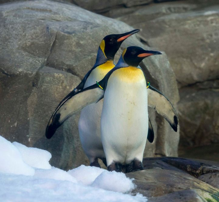New penguins at the Berlin Zoo.