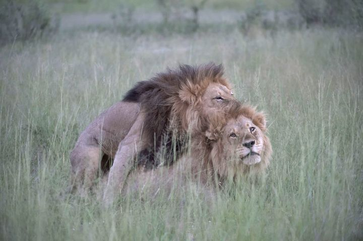 "Nicole Cambre documented these two male lions ""mating"" in Botswana."