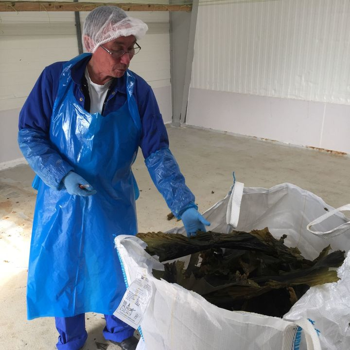 Kelp loses about 90 percent of its weight after drying.