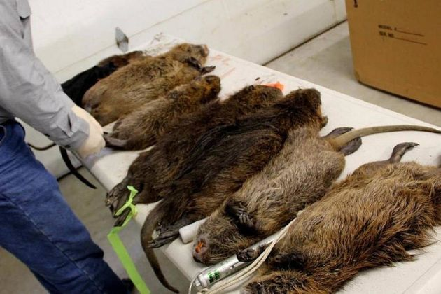 Giant Cannibal Rats Found By 'Lord' Dean Burr In London