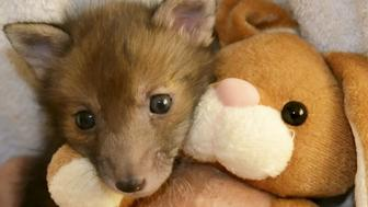 These are the super cute pictures of an abandoned baby fox snuggling up with his best friend - a teddy bear.  See SWNS story SWFOX.  Puggle was found abandoned at just two weeks old in a north London back garden and handed over to the National FoxWelfare Society.  The orphaned youngster has been nursed back to health alongside a teddy bear, which he is rarely seen without.  The fox society nurses fox cubs back to health if they are injured or abandoned, and Puggle was the first of the breeding season to come to them.  By the summer, Puggle will be big and strong enough to venture back into the wild on his own. The society will 'soft release' him with a group of other orphaned foxes.